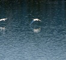 Trumpeter Swans in Flight by Yukondick