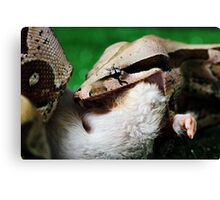 Macro shot of a Boa feeding Canvas Print
