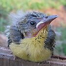 Baby Oriole by Ginny York