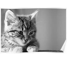 Black and White Kitten (non-clothing products) Poster