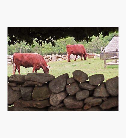 Bull session ... Photographic Print