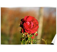 Vineyard Rose Poster