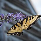 Swallowtail Butterfly by Yuri Lev
