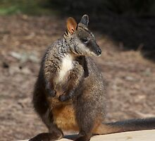 Brush Tailed Rock Wallaby by GP1746