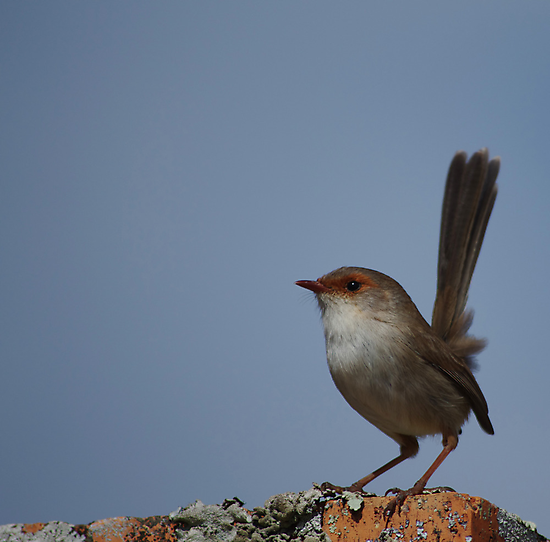 There are Fairy Wrens in my Garden by Clare Colins