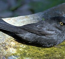 Blackbird Resting in a Birdbath by Carole-Anne