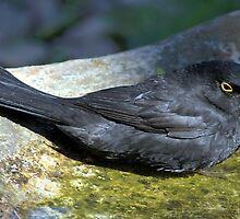 Blackbird Resting in a Birdbath by Carole-Anne