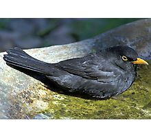 Blackbird Resting in a Birdbath Photographic Print