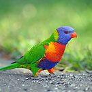 Rainbow Lorikeet. Queensland, Australia. by Ralph de Zilva