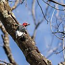 Red-headed Woodpecker 2015-1 by Thomas Young