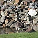 Goose on the Loose by complaincan