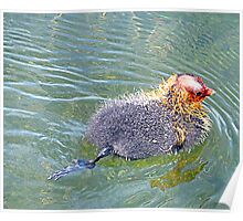 Baby Coot. Poster