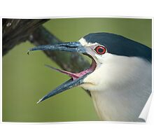 Black Capped Night Heron Poster