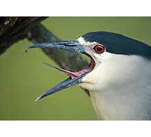 Black Capped Night Heron Photographic Print