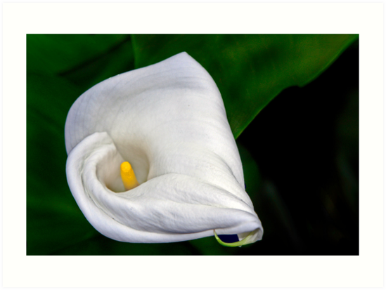 Calla Lily by cclaude