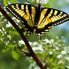 Tiger Swallowtail Butterfly by Susan R. Wacker