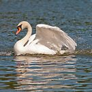 Mute Swan by M.S. Photography & Art