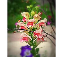Simple Snapdragon Photographic Print