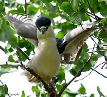 Black-crowned Night Heron by Nancy Barrett