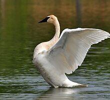Trumpeter Swan by Nancy Barrett