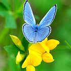 Silvery Blue on Trefoil by Nancy Barrett