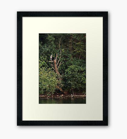 Great Blue Heron in Tree Framed Print