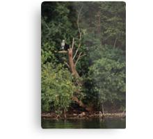Great Blue Heron in Tree Metal Print