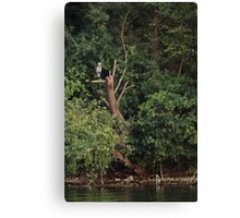 Great Blue Heron in Tree Canvas Print