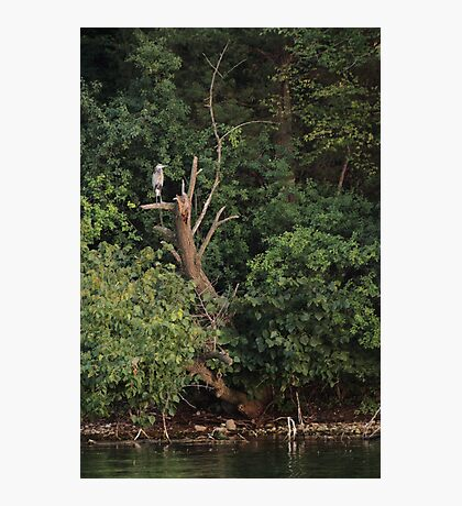 Great Blue Heron in Tree Photographic Print