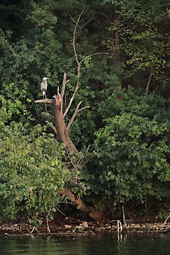 Great Blue Heron in Tree by Thomas Murphy