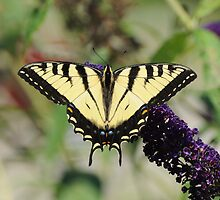 Eastern Tiger Swallowtail Female by RoyceRocks