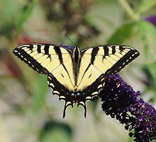 Eastern Tiger Swallowtail Female by RoyceRocks