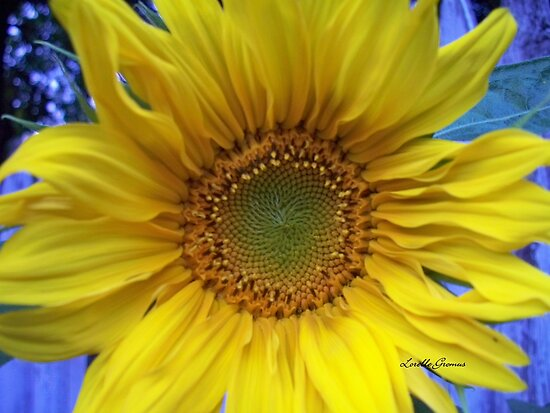 Sunflower by Lorelle Gromus