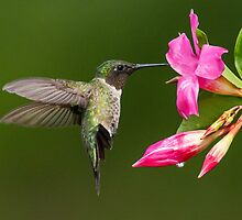 Male Ruby-throated Hummingbird in Hover Mode by Bill McMullen