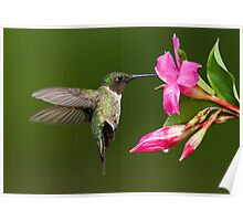 Male Ruby-throated Hummingbird in Hover Mode Poster