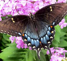 Black swallowtail butterfly on Summer phlox by Samohsong