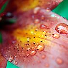 Tiger Lily in Rain by Amanda Reed