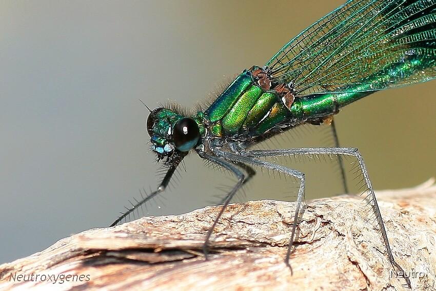 Green dragonfly by Neutro