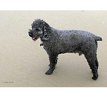 Miniature Poodle Photographic Print