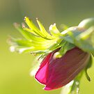 Witnessing Miracles: Anemone Poppy Bud by SunshineKaren