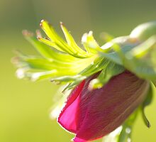 Witnessing Miracles: Anemone Poppy Bud by SunshineKaren