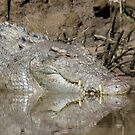 Saltwater Crocodile, Daintree River, North Queensland by Adrian Paul