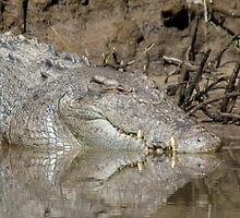 Saltwater Crocodile, Daintree River, North Queensland by Adrian Paul