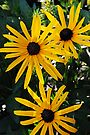 Black Eyed Susans by Tori Snow