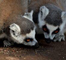 Lemurs  by skid
