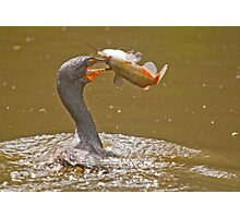 Dinner is Served (Cormorant) Photographic Print