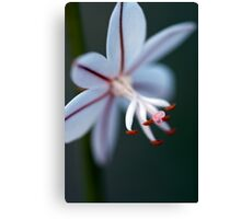 Onion Weed Flower Canvas Print