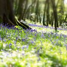 Courtmacsherry Bluebells by Phillip Cullinane