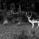 Fallow Deer by Phillip Cullinane
