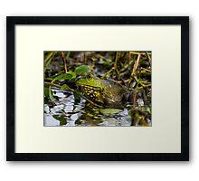 Female Bullfrog Oil Framed Print
